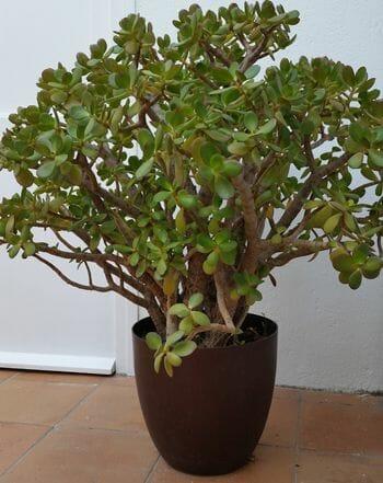 Plantas artificiales y flores secas seg n el feng shui for Planta del dinero feng shui