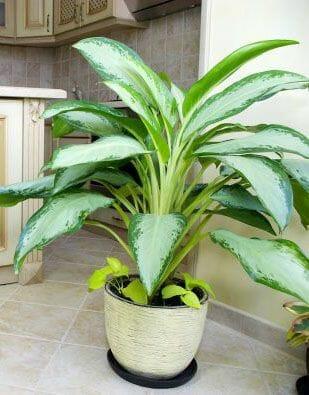 planta-flecha-envenenada